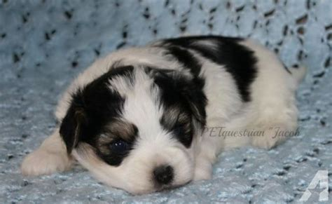 mini teddy puppies mini teddy puppies for sale in crary dakota classified americanlisted