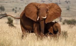 le elefant kenya elephant census pictures cbs news
