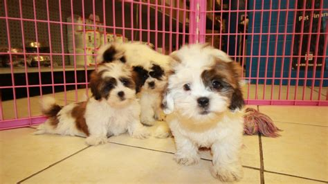 free puppies in columbia sc teddy puppies for sale in columbia south carolina sc 19breeders mount