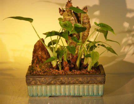 alocasia cucullata buddha s first lily chinese taro plant indoor buddha s ear alocacia cuculata