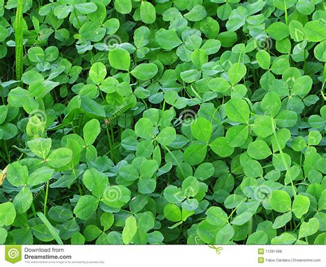 Clover Green green clover royalty free stock photos image 11281498