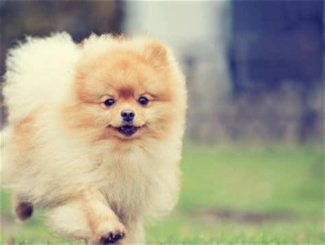 razze di cani piccoli da appartamento razze cani piccoli duylinh for