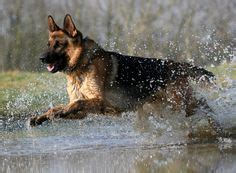 how fast can a rottweiler run german shepherds and rottweilers my favorite breeds blessed to both on