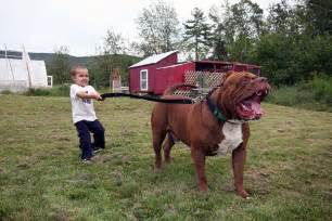 Large Pit World S Largest Pit Bull Fathers Eight Puppies Worth Up To