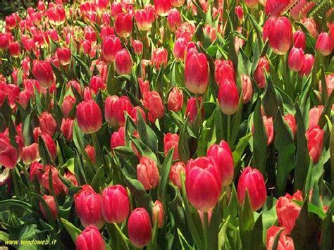 foto fi fiori foto tulipani per sfondi desktop