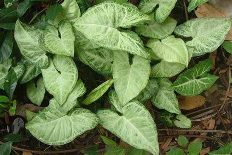houseplant vine syngonium podophyllum
