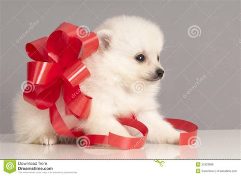 puppy present pomeranian puppy present royalty free stock images image 21903989