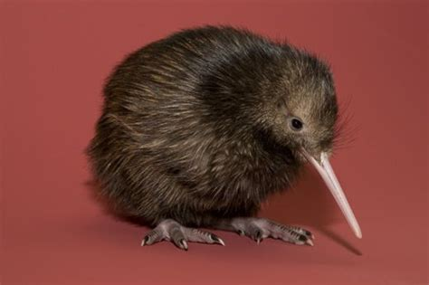 Introducing Baby Kiwi by National Zoo S Baby Kiwi Gets A Name At The Smithsonian