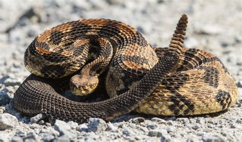 Animal World Snakes 10 of the most venomous snakes in the world