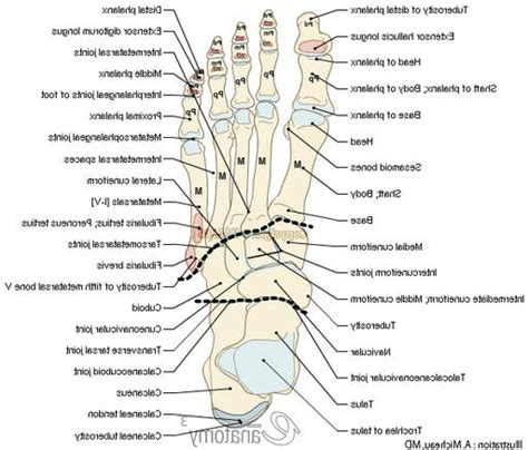 diagram of a foot foot diagram bones anatomy organ