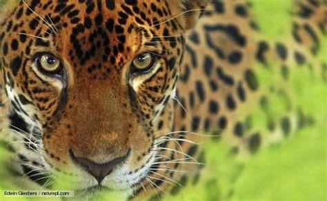 rainforest jaguar facts nature jaguar news and facts