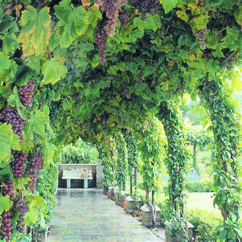 Garden Arch For Grapes Tunnel Of Vines Sunset