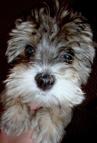 yorkie puppies salt lake city cutest yorkie poo cutest yorkie poo for sale in salt lake city utah