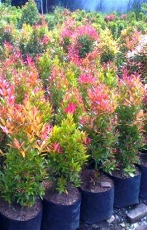 Bonsai Pohon Pucuk Merah berbakat taman landscape the best garden maker pohon pagar melayani tukang taman minimalis