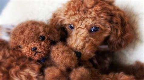 breed that looks like a teddy facts and photos about the teddy breed fallinpets