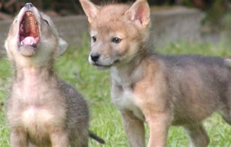 coyote puppy orphaned coyote pup howls with his rescuer