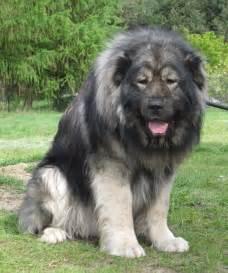 Caucasian shepherd dog big dogs big dog breeds types of big dogs