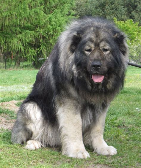 caucasian shepherd puppy caucasian shepherd all big breeds