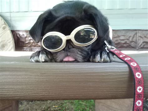 pugs polarized sunglasses the pugs gear point of view photo contest winners
