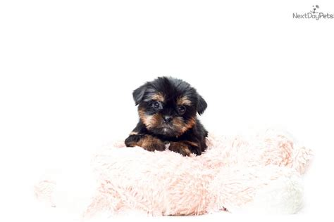 teacup shorkie puppies for sale shorkie teacup puppies for sale in ga breeds picture
