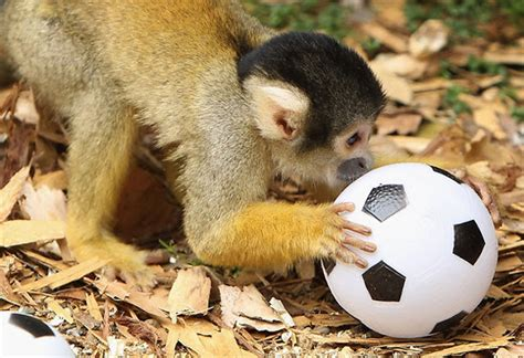 irish football coach arrested  sentenced  possession   stolen monkey