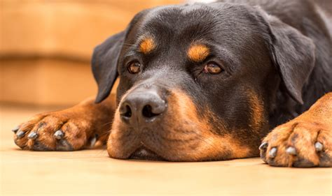 rottweiler skin allergies joint health iheartdogs