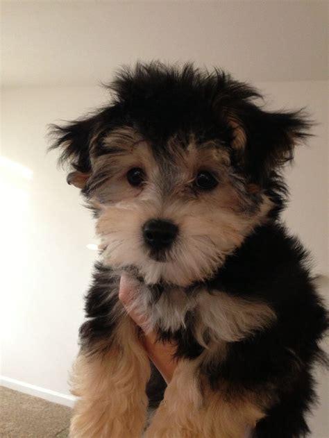 baby yorkie poo yorkie poo puppies baby yorkiepoo breeds picture