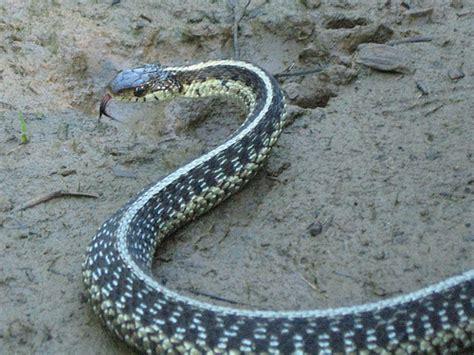 Garden Snake Island Common Garter Snake Flickr Photo