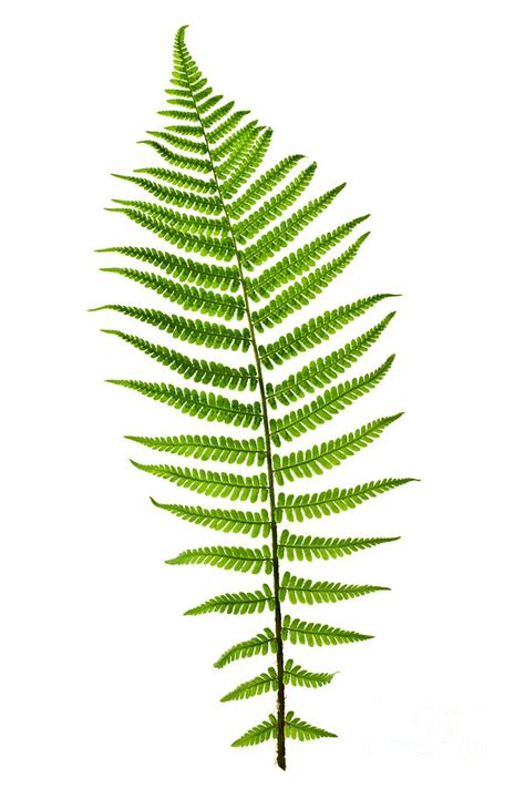 fern leaf photograph by elena elisseeva