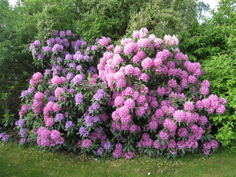 gardening tips growing rhododendrons new house new home