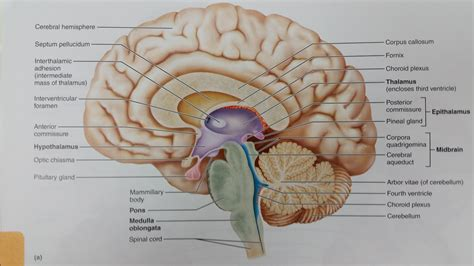 midsagittal section of human brain chapter 12 the central nervous system at bellevue