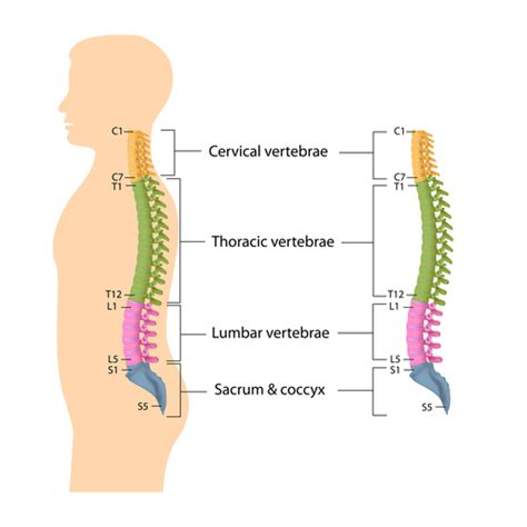 spine anatomy lumbar spine cervical spine thoracic