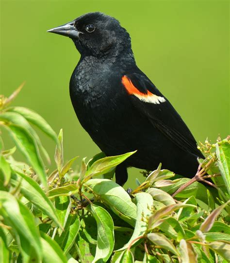 red winged black bird birds pinterest