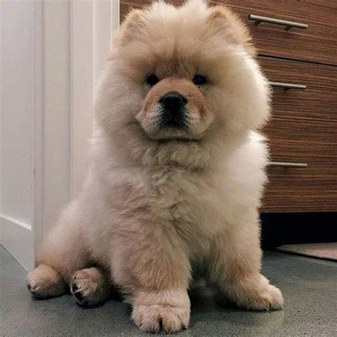 Paw Lotion Anjing 89 best images about chow chows on pets puppys and xy