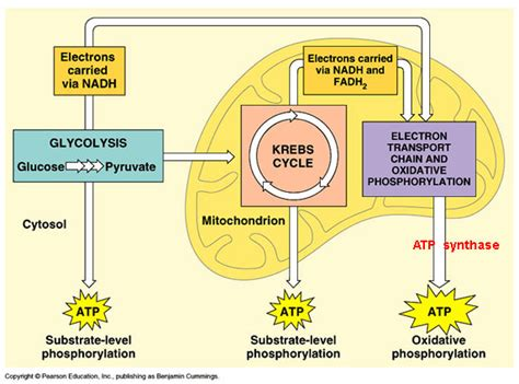cell energy photosynthesis and respiration section 6 1 biojayo cellular respiration
