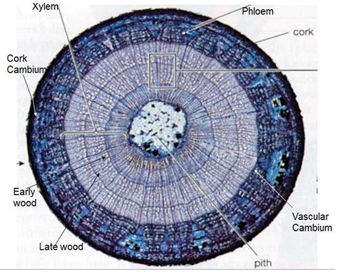 woody dicot stem cross section flashcards angiosperm and gymnosperms virtual lab