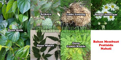 membuat zpt nabati kumpulan jenis tumbuhan bahan pestisida organik yang ampuh