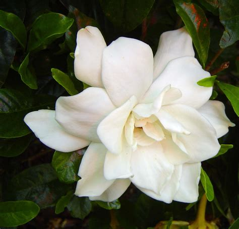 gardenias flower what s your favorite flower yahoo answers