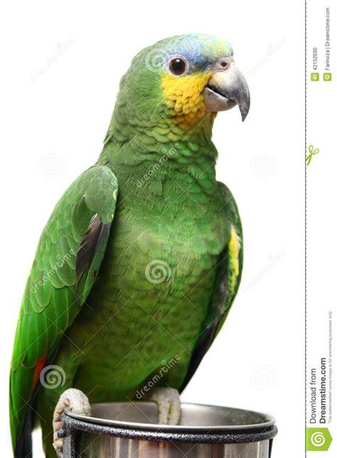Gift Card Amazon Venezuela - venezuela amazon parrot on white stock photo image 42152690