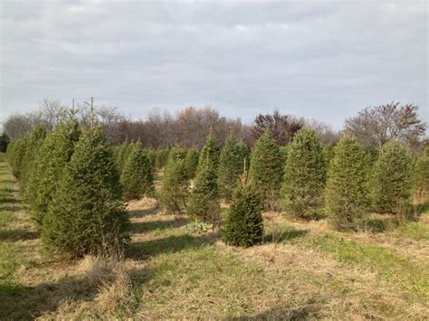 cut your own christmas tree westminster md the economics of trees cutting one