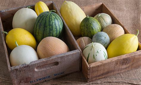 Shelf Of Seeds by Melon Growing Basics Seed Starting Transplanting