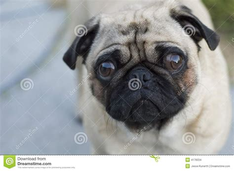 sad pug puppy sad pug stock images image 4176034