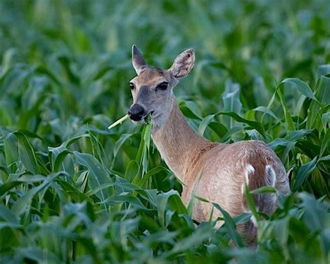 Deer Garden by 10 Easy Pieces Humane Ways To Outwit Varmints Gardenista