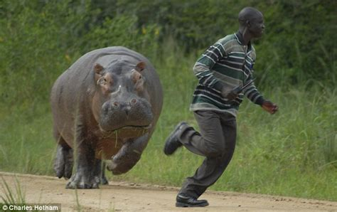 hippopotamus chasing a boat shocked gamekeeper runs for his life from three ton hippo