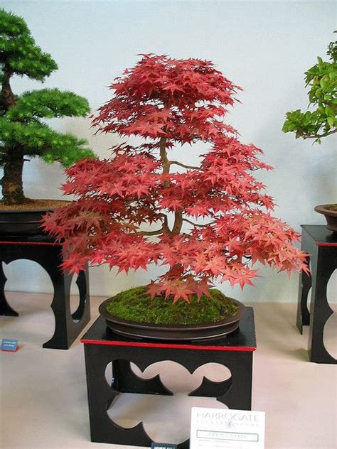 libro bonsai with japanese maples 17 best ideas about japanese maple bonsai on