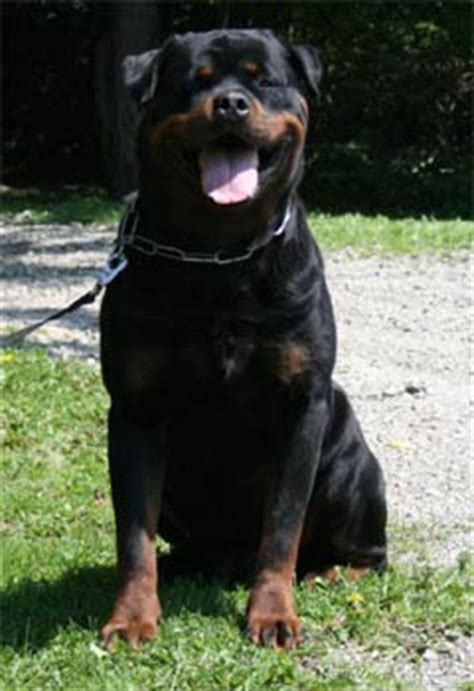 world class rottweilers rottweiler photos pictures rottweilers page 19