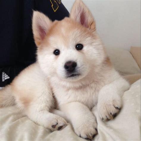 husky chow mix puppies die 10 besten ideen zu husky mix auf siberische huskywelpen hundebabys