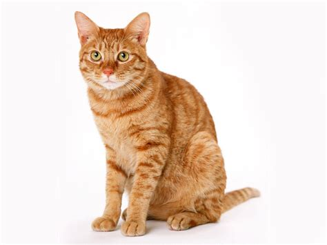 cat wallpaper graphic cat white backgrounds wallpaper cave