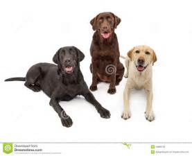 lab colors different color labrador retriever dogs royalty free stock