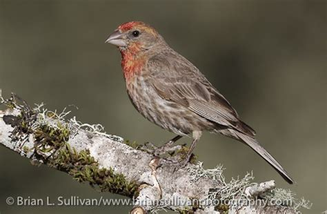 sound of a house finch house finch birds of north america online